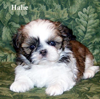 croaking toad shih tzu visit our available puppies link or the facebook link 9958