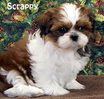 croaking toad shih tzu puppies available 7117