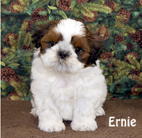 croaking toad shih tzu puppies available 7136