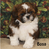croaking toad shih tzu puppies available 3021