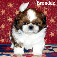 croaking toad shih tzu visit our available puppies link or the facebook link 7367