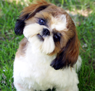 shih tzu for sale chicago shih tzu puppies for sale in indiana by chicago illinois 9154