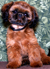 croaking toad shih tzu shih tzu puppies for sale in indiana by chicago illinois 9306